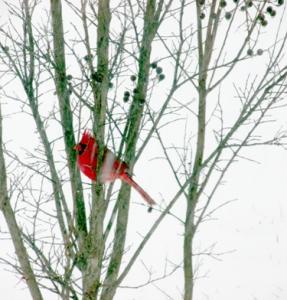 3-6-15 Cardinal